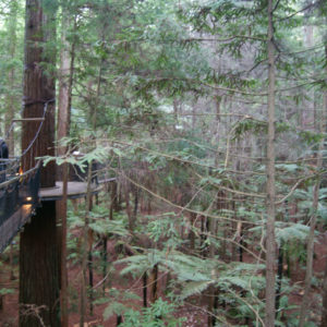 Tree Walk at the Redwoods